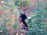 A Black Bear Looks Out of a Field While Hunting for Food