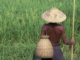 Fisherman In a Rice Field  Danang  Vietnam