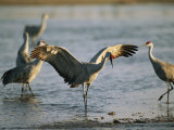 Sandhill Cranes at the Platte River Roost