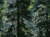 Sunlight Reflected by Morning Dew on Pine Trees