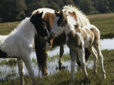 Two Wild Pony Foals Interacting near a Grazing Adult