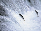 Sockeye Salmon Spawning  Katmai National Park  AK