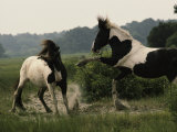 Two Wild Pony Stallions Stomp and Toss Manes in a Status Display