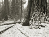Snow-Dusted Giant Redwood Tree Trunk in Sequoia National Park