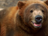 Close-up of Brown Bear