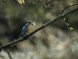 River Kingfisher Sitting on a Tree Branch with a Fish in its Bill
