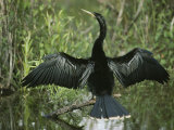 Male Anhinga Spreads its Wings While Perched on a Tree Branch