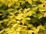 Bright Yellow Fall Leaves