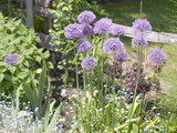 Purple Chive Flowers in Garden