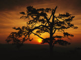 The Silhouette of a Pine Tree on Ravens Roost Overlook