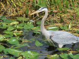 Great Blue Heron  Everglades National Park  FL