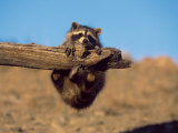 Baby Raccoon  Procyon Lotor  MT