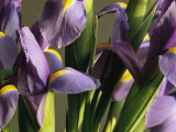 Close View of a Cluster of Domesticated Irises