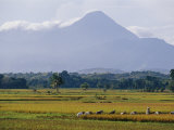 Laborers in a Rice Field Work in the Shadow of a Volcano