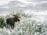 Bull Moose on a Snow-Covered Hillside