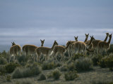 Vicunas Search for Food in the Highlands of the Atacama Desert