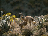 Guanacos at an Altitude of Ten Thousand Feet in the Andes Mountains