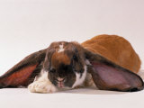 Comical Long Eared Rabbit