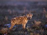Spotted Hyena  Crocuta Crocuta  Tanzania