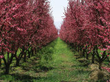 Orchard of Blooming Fruit Trees
