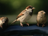 Sparrows  Central Park  NYC
