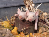 Mixed Breed Piglets in Wooden Bucket
