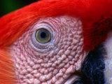 Scarlet Macaw (Ara Macao)  Tambopata-Candamo National Park  Madre De Dios  Peru