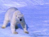 Polar Bear (Thalarctos Maritimus) Standing on Ice on Baffin Bay  Canada