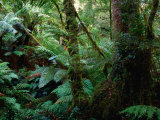 Trees  Tree Fern and Moss in the Dense  Wet Rainforest  Otway National Park  Australia