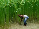Farmer Harvesting Jute  Tangail Dhaka  Bangladesh
