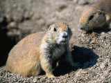 A Black-Tailed Prairie Dog - Badlands National Park  South Dakota  USA