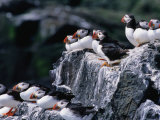 Puffins (Fratercula Arctica) Sitting on Rocks  Farne Islands  United Kingdom