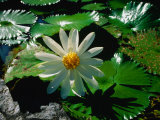 Detail of Water Lily  Indonesia