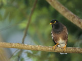 Close View of a Mynah Bird Perched on a Tree
