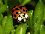 Lady Bug  Coccinella Spp