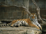 A Siberian Tiger Rests in Her Outdoor Enclosure