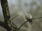 Collared Turtle Dove Perched on a Tree Limb