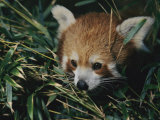 A Close View of a Red Panda at the Perth Zoo