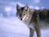 Coyote (Canis Latrans) in Winter  Yellowstone National Park  USA