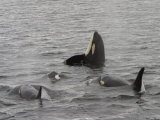 A Killer Whale Pod in Johnstone Strait
