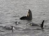A Killer Whale Pod in Johnstone Strait