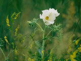 Crested Prickly Poppy Blooms Among Prairie Grasses in South Dakota
