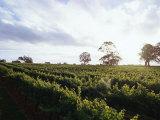 Twilight Clouds over Vineyards in Coonawarra  Wine Country