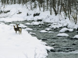 Sika Deer on the Snowy Banks of a River in Shiretoko National Park