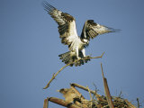 Osprey Landing in its Nest with a Piece of Building Material