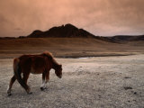 The Wild Horse of Mongolia