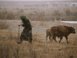 Mongolian Woman Checks on the Cattle