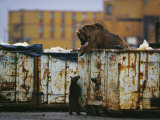 Grizzly Bear and her Cub Scavenge from a Dumpster