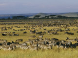 Herds of Zebra and Wildebeest on the Serengeti