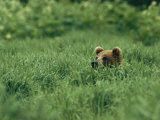 A Brown Bear in Lush Tall Grass
